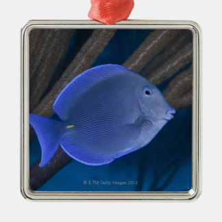 Underwater life: Acanthurus coeruleus with sea Silver-Colored Square Decoration
