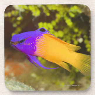 Underwater Life, FISH:  a colorful Fairy Basslet Beverage Coaster