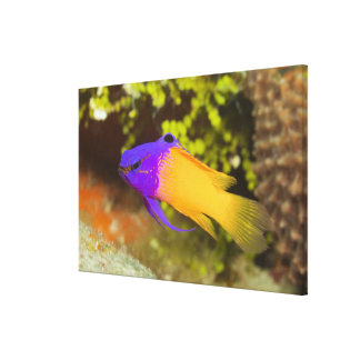 Underwater Life, FISH:  a colorful Fairy Basslet Canvas Print