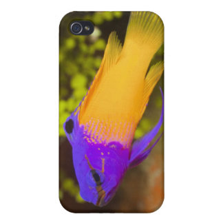 Underwater Life, FISH: a colorful Fairy Basslet Cover For iPhone 4