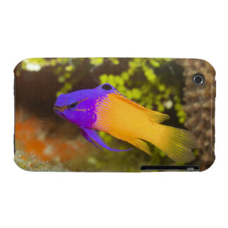 Underwater Life, FISH:  a colorful Fairy Basslet iPhone 3 Cases