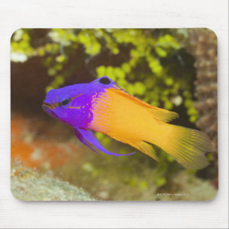 Underwater Life, FISH:  a colorful Fairy Basslet Mouse Mat