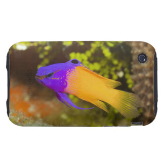 Underwater Life, FISH:  a colorful Fairy Basslet Tough iPhone 3 Cover