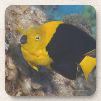 Underwater Life, FISH:  A colorful Rock Beauty Beverage Coasters