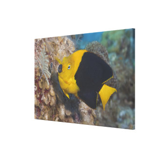 Underwater Life, FISH:  A colorful Rock Beauty Canvas Print