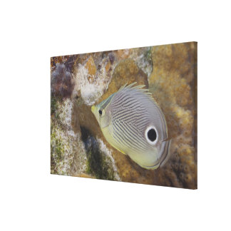 Underwater Life, FISH: A Foureye Butterflyfish Canvas Print