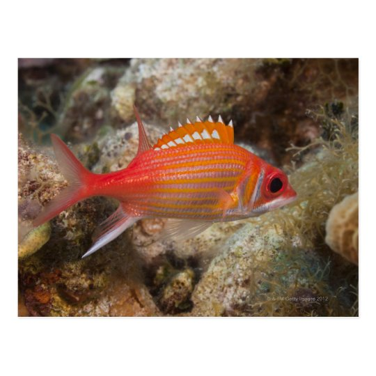 Underwater Life, FISH:  a Longjaw Squirrelfish Postcard