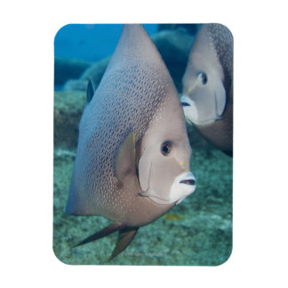 Underwater Life, FISH:  a pair of Gray Angelfish Magnet