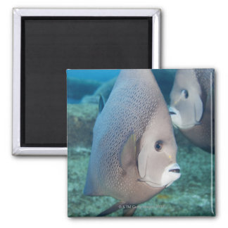 Underwater Life, FISH:  a pair of Gray Angelfish Square Magnet