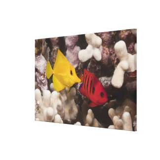 Underwater life; FISH: A Yellow Tang (Zebrasoma Canvas Print
