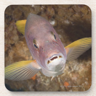 Underwater Life; FISH:  Close up portrait of a Coaster