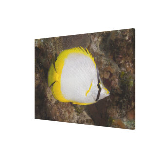 Underwater Life, FISH: Colorful Spotfin Canvas Print