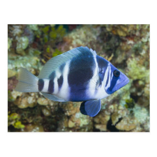 Underwater Life, FISH:  Indigo Hamlet Postcard