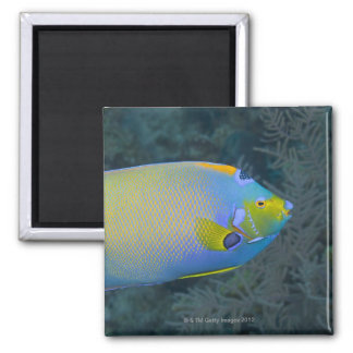 Underwater Life; FISH:  Queen Angelfish Magnet