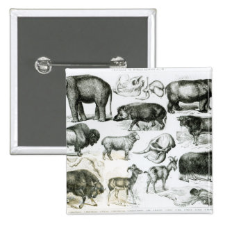 Ungulata or Hoofed Animals 15 Cm Square Badge