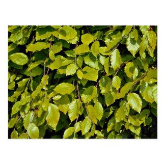 Unique Beech leaf Postcard