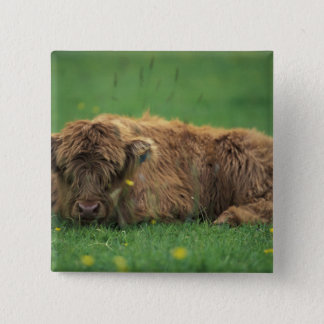 United Kingdom, Scotland. Highland calf 15 Cm Square Badge