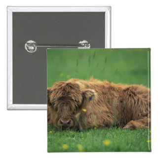 United Kingdom, Scotland. Highland calf 15 Cm Square Badge