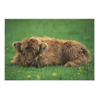 United Kingdom, Scotland. Highland calf Photo Print
