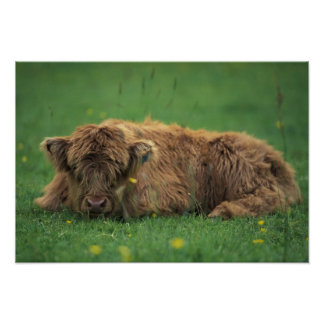 United Kingdom, Scotland. Highland calf Poster