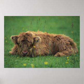 United Kingdom, Scotland. Highland calf Poster