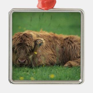 United Kingdom, Scotland. Highland calf Silver-Colored Square Decoration