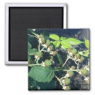Unripe Blackberry Refrigerator Magnets