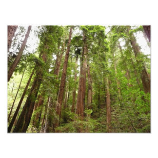 Up to Redwoods at Muir Woods National Monument Photographic Print