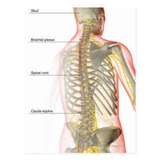 Upper Body Nerve Supply Postcard