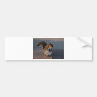 Urban Squirrel. Bumper Sticker