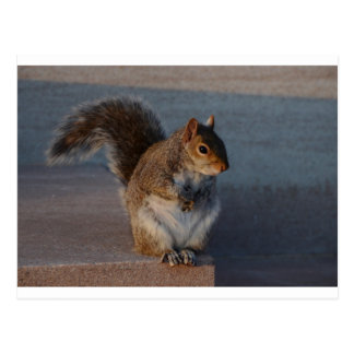 Urban Squirrel. Postcard