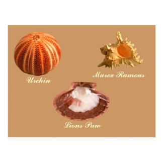 Urchin, Lions Paw, Murex Ramous Post Cards