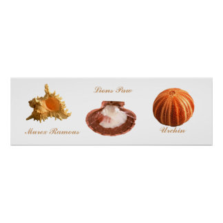 Urchin Lions Paw Murex Ramous Posters