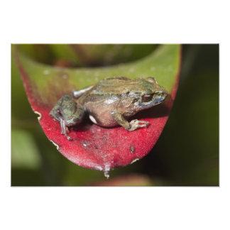 Urdaneta Robber Frog Pristimantis orestes) Art Photo