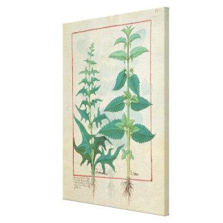 Urticaceae Canvas Print