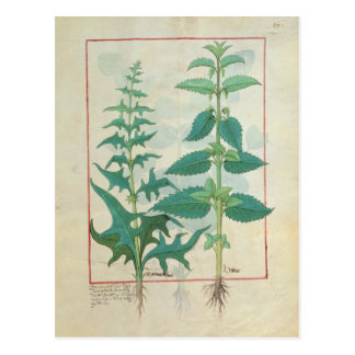 Urticaceae Postcard