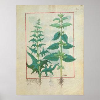 Urticaceae Poster