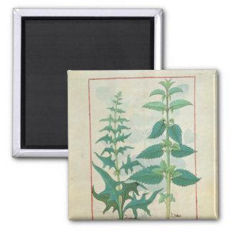 Urticaceae Square Magnet