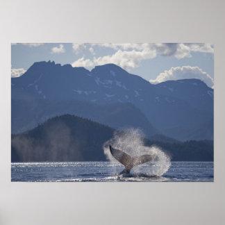 USA, Alaska, Angoon, Humpback Whale Megaptera 3 Poster