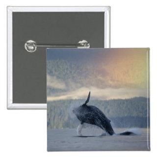 USA, Alaska, Angoon, Humpback Whale Megaptera 15 Cm Square Badge