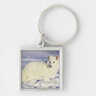 USA, Alaska. Arctic fox in winter coat. Credit Key Ring