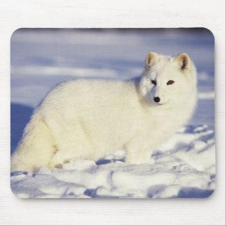 USA, Alaska. Arctic fox in winter coat. Credit Mouse Mat