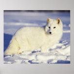 USA, Alaska. Arctic fox in winter coat. Credit Poster