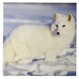 USA, Alaska. Arctic fox in winter coat. Credit Tile