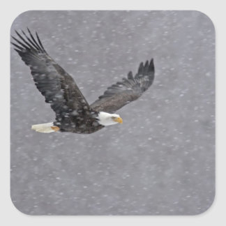 USA, Alaska, Chilkat Bald Eagle Preserve. Bald Square Sticker