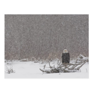 USA, Alaska, Chilkat River. Bald eagle Postcard