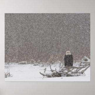 USA, Alaska, Chilkat River. Bald eagle Poster