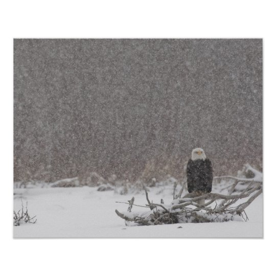USA, Alaska, Chilkat River. Bald eagle Poster