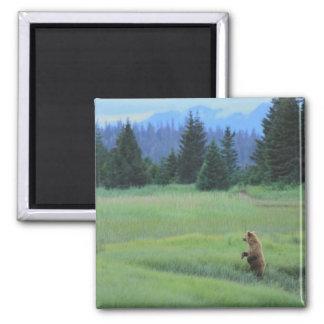 USA, Alaska, Clark Lake National Park. Grizzly Square Magnet
