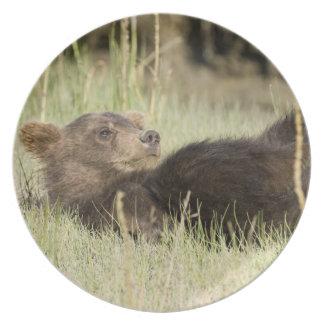 USA. Alaska. Coastal Brown Bear cub at Silver 2 Dinner Plates